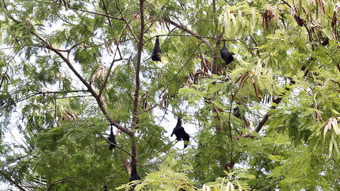 Megabats in Maldives Footage
