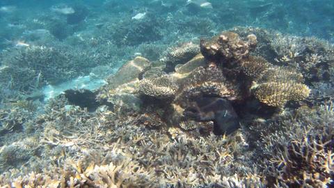 Giant moray Footage