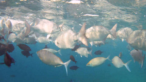 Shoal of fishes Footage