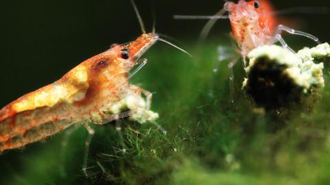 Shrimp Aquarium Life 2