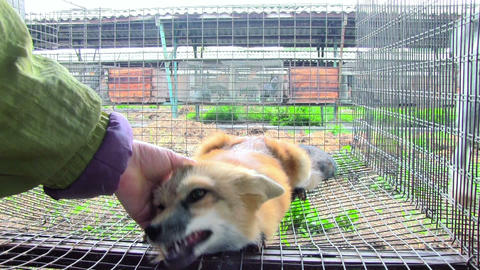 Tamed The Little Fox In The Cage stock footage