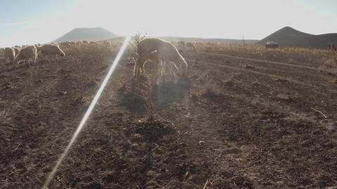 Sheep graze eating dry grass and thorns in dusty terrain far volcano Footage