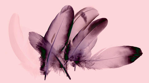 Beautiful animation with black and purple feathers isolated on pink Animation