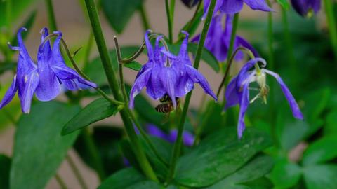 Bee on aquilegia flower Footage