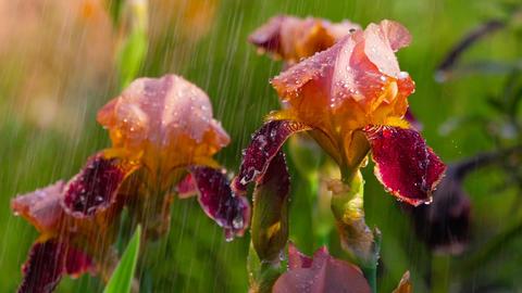 Wet red iris under rain Footage