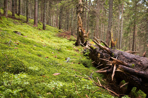 Large Broken Pine Photo