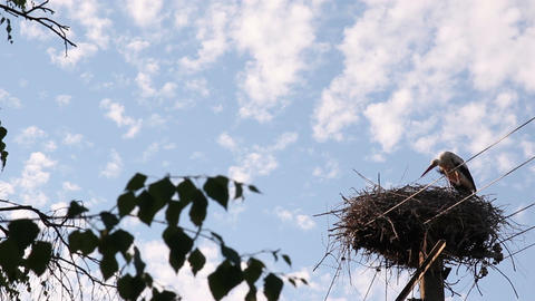 Stork Scratching In The Nest Footage
