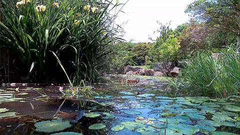 A pond where the aquatic plants are floating Footage