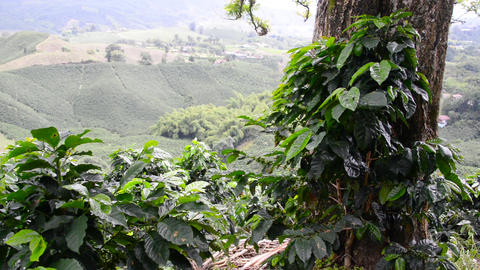 Coffee Plantation View Footage