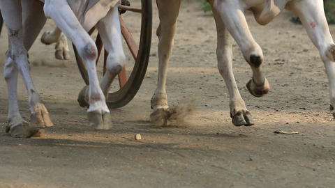 Bullock cart race Archivo