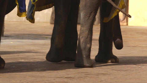 elephants in Amber fort Jaipur, Rajasthan, India. Legs of elephant Footage