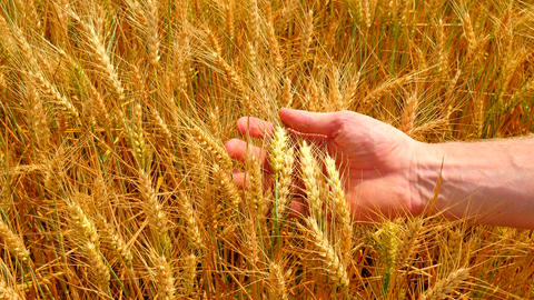 Male hands in barley field. Grain in the hands. Man hands holding barley grain.  Footage
