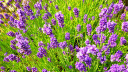 Lavender flowers. Lavender field in the background in soft focus. Lavandula flow Live Action