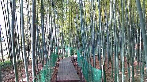 Walking the bamboo grove with a high line of sight Footage