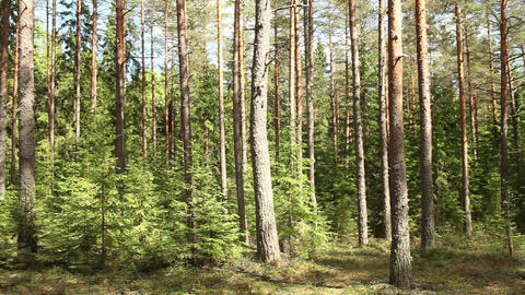 forest in summer panorama Footage