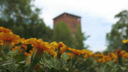 Castello Visconteo Castle with yellow flowers on foreground in Pavia, PV, Italy Footage