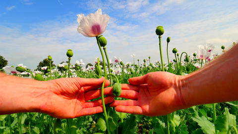 Man hand open flower bud of white poppy in field. Check of color of the poppy pe Footage