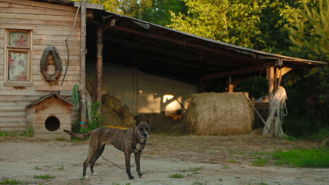 The dog is guarding the barn in the stable Footage