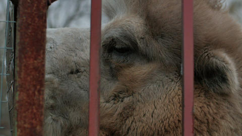 Fun camel chew cage in the zoo Footage