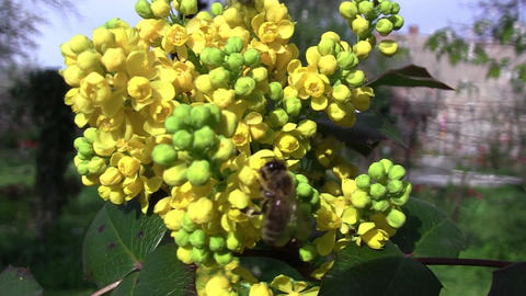 Bee Looking For Pollen In Yellow Flowers Bushes Of A Mahogany 1 stock footage