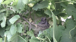 Blackbird mother feeding her babies in the nest 3 Footage