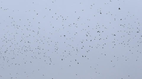 natural video of flying flock of birds Footage