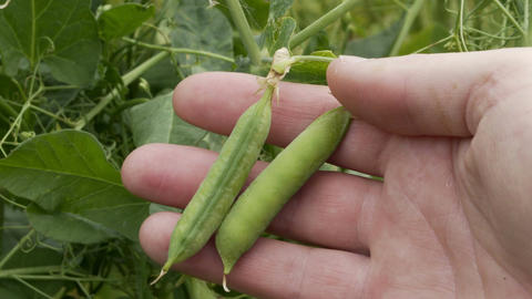 Industrial Agriculture Farmer Inspects Peas Closeup Footage