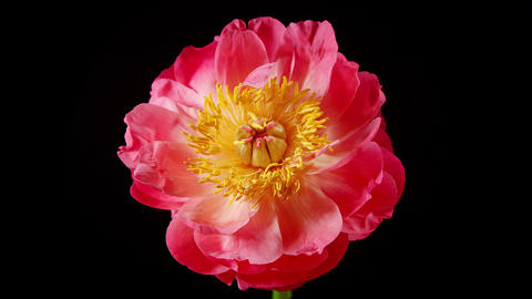 Time Lapse of a Pink Peony Blooming Footage