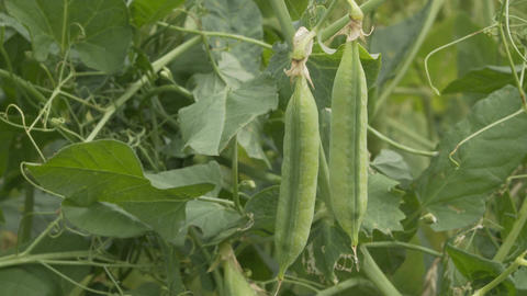 Agriculture Plantation Pea Pod Vine Pan Transition Footage
