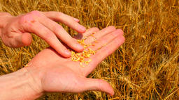 Agronomist hands examines crop of rye. Farmer checking if rye ears are ripe. Man Footage
