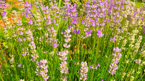 Pink purple lavender flowers. Lavender field in the background in soft focus. La Live Action