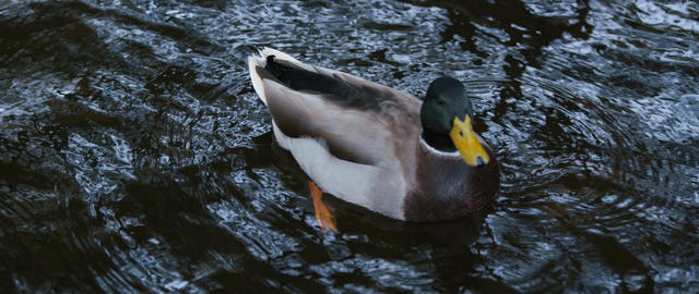 The duck in lake Filmmaterial