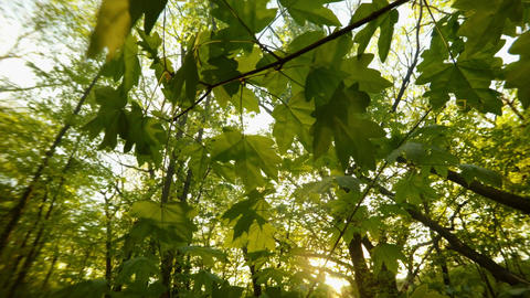 Through the green thick young foliage of the maple, the spring sunshine breaks t Footage