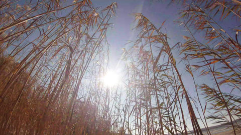 The sun flickers in the dense thickets of reeds in the wind ビデオ