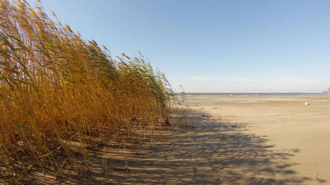 Dense reed swaying in the wind on the sandy shore of the artificial sea Footage