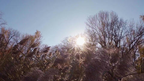 The rays of the sun flicker in the tops of a dry fluffy reed near the trees Footage