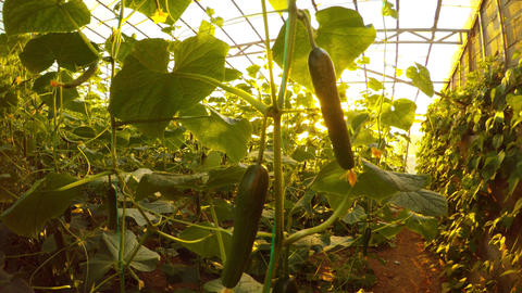 The evening sun hardly makes its way through the green thickets of cucumbers in Footage