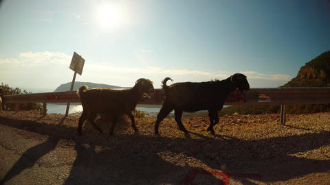 Goats are walking along the asphalt road against the background of road fencing Footage