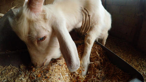 A young white horned goat tied up in a barn and eating a close-up of the muzzle Footage