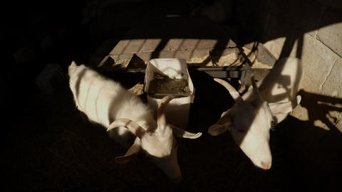 Two white goats in a barn in the rays of the sun looking out for hay Footage