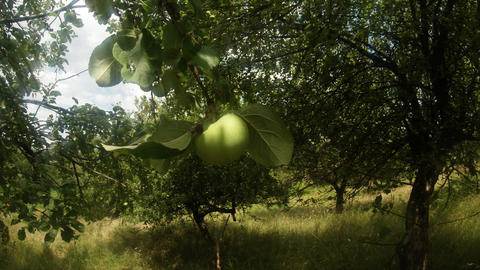 A green apple swings on a branch in an abandoned mountain garden Footage