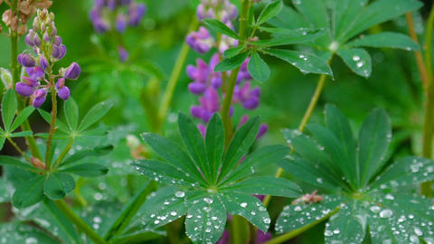 Lupine blooming after summer rain Footage