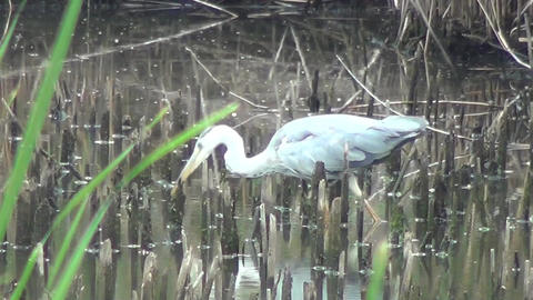 Wild bird predation Live Action