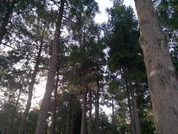 pine forest Footage