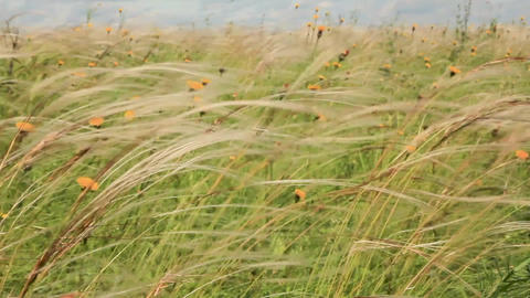 feather grass Image