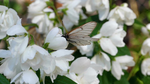 Black Veined White butterfly on Jasmine Live Action