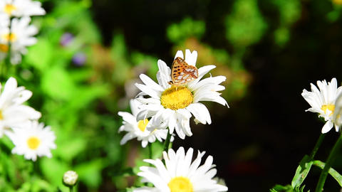 Butterfly hives sitting on white blossoming daisy Footage