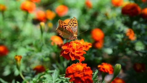 Butterfly urticaria sits on a flower Footage