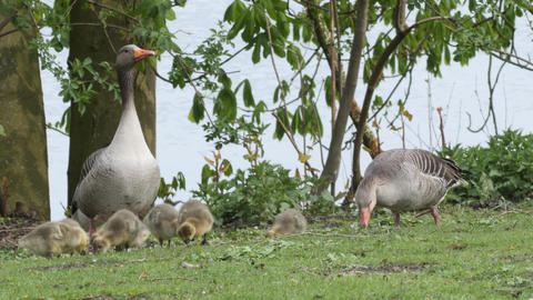 A couple of Greylag geese with goslings feeding on grass Footage
