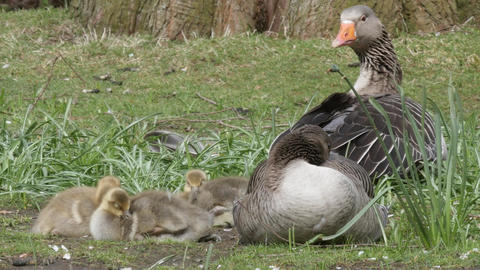 A family of Greylag geese resting in the sun Footage